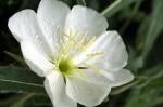 White Evening Primrose - North Foothills HCA